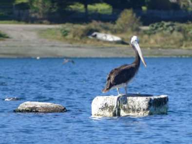 Pelican in Chiloe