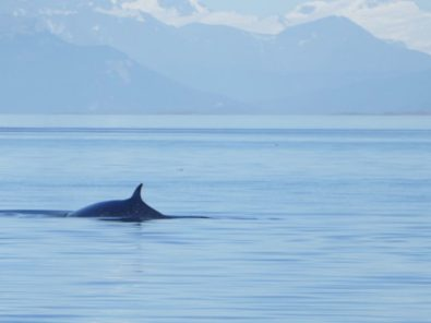 Sei Whale in Beagle Channel
