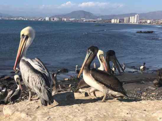 Pelicans at the beach near La Serena