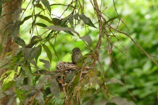 Female Juan Fernandez hummingbird