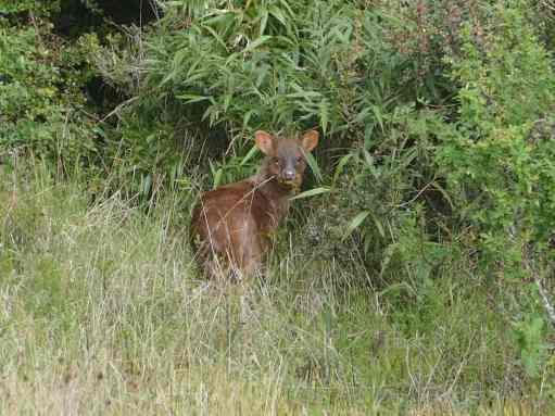 The indigenous deer Pudu thrives at Alihuen