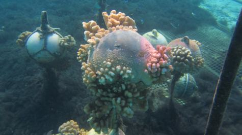 Coral evens grows on abandoned buoys