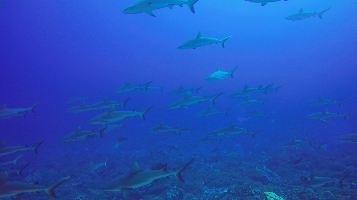 Grey reef sharks swimming by