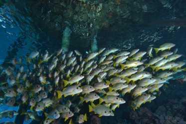 Marine biodiversity on steroids