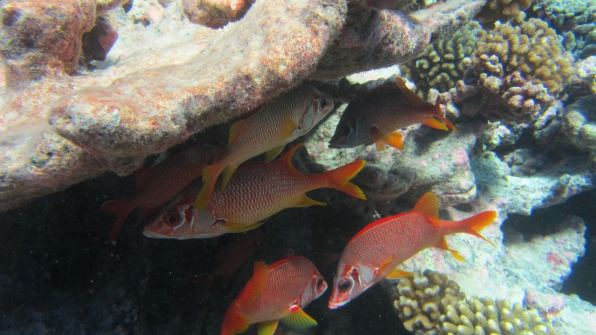 Red fish hiding underneath the coral