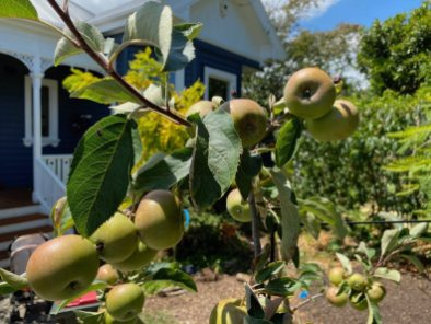 The apples in Jonna and Bob's front garden are almost ripe to be picked