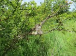 Bad year for tent caterpillars locally