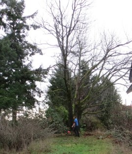 Arborist friend just before the tree got a massive haircut