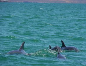 Dolphin Group 1