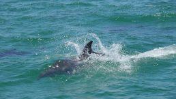 Dolphin splash San Carlos