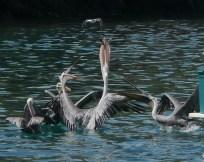 Pelican bill 1