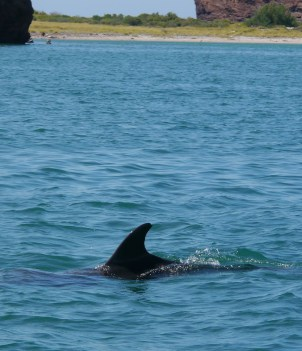 Tip Cut Dolphin San Carlos
