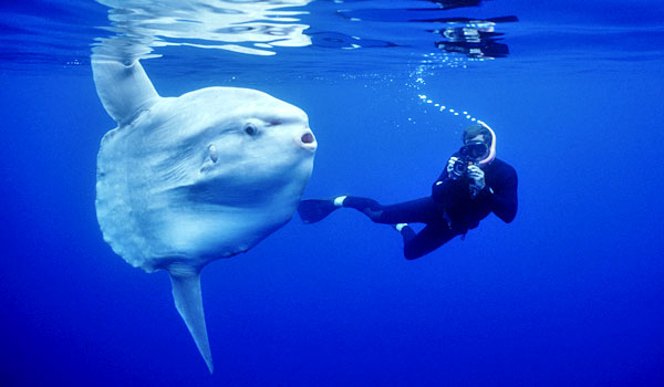 An Ocean Sunfish or Mora Mora. Apparently they can weigh over 2000kg! The ones we see in the Med aren't this big though.