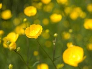 Bouton d'or, fleur jaune