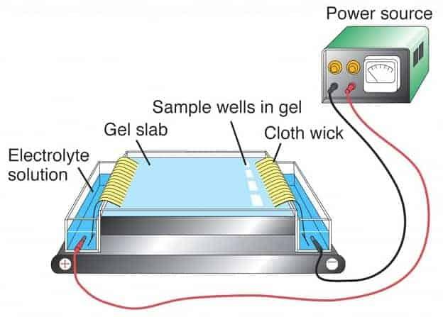 3 Jenis dan Prinsip Utama dari Elektroforesis