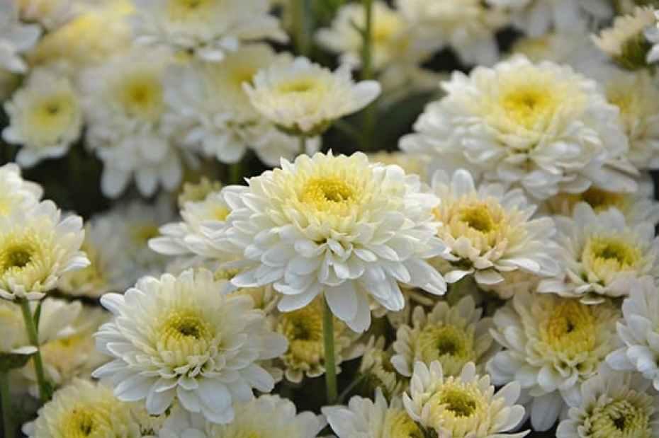 Toussaint fleurs blanches