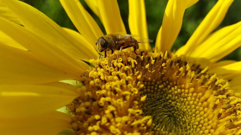 Domaine Saint-Antonin. Une abeille en plein butinage de pollen de tournesol.