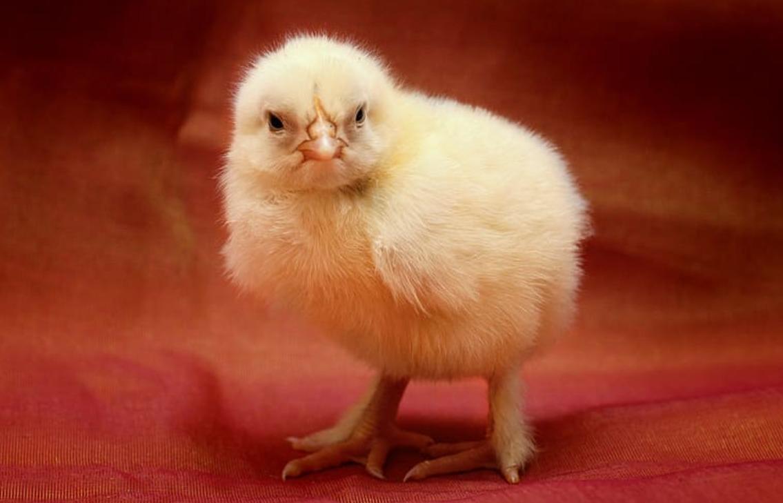 Grippe aviaire en Dordogne
