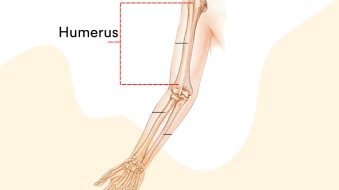 fungsi tulang atas manusia biologi