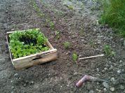 Plantation céleri branche plantoir et espacement