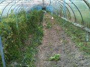 Serre route - plants de tomates