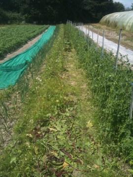 Récolte des betteraves plein champs