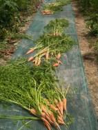Récolte des carottes sous serre