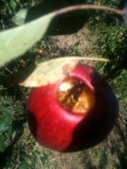 Frelon dans la pomme