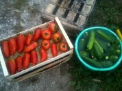 Nettoyage tomates, courgettes