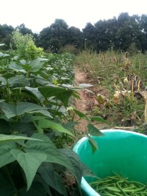 Récolte haricots mangetout