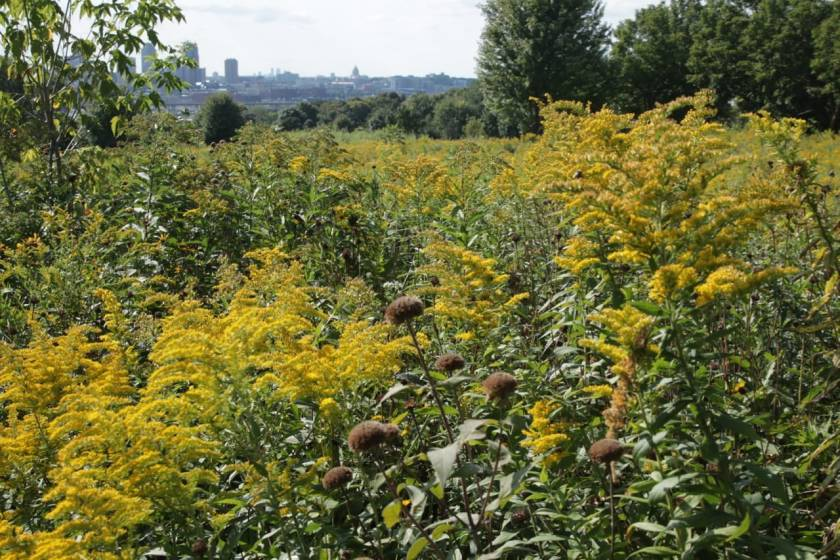 The goldenrods looked like fireworks in the restored prairie.