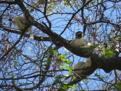 Nova especie de Lemur