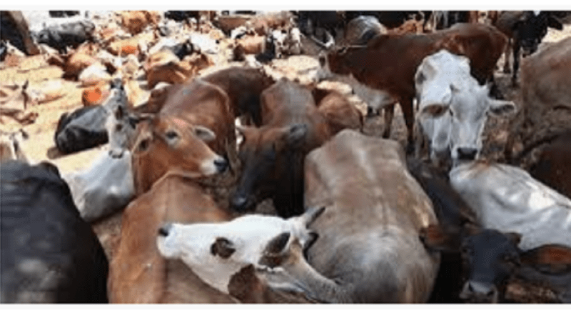 cow slaughter law