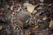 Un petit rock wallaby