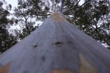 Un tronc de Blue Gum