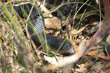 Red belly snake