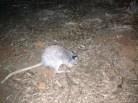 rufous bettong, aka rat-kangaroo