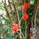 気づいたら花壇の一番奥で木瓜が満開。