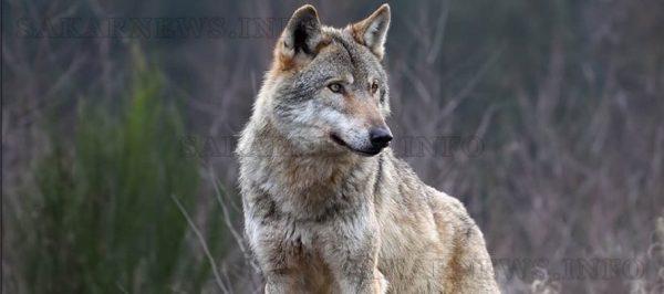 Таксация показа увеличение на дивите свине и вълците ...