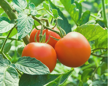 tomatoes_good