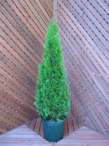 ファインガーデン コニファー(天然木) 80cm