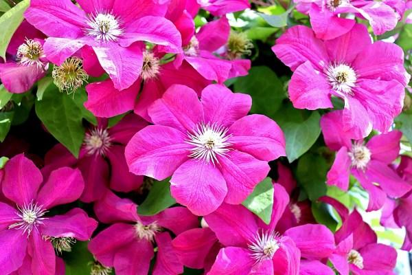 Clematis Flowers Climbing Plants  - GAIMARD / Pixabay