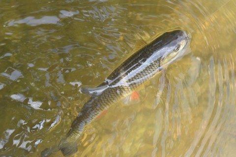 Chub Fish Fishing River Water  - richardfalta1 / Pixabay