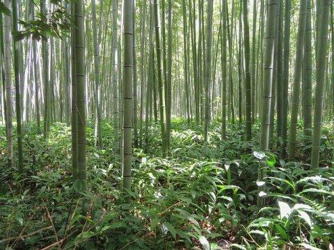 Kyoto Japan Bamboo Bamboo Forest  - 12019 / Pixabay