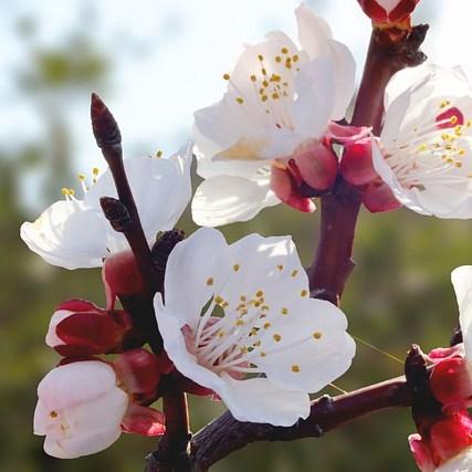Plum Blossoms Flowers White Flowers  - GloboxR / Pixabay