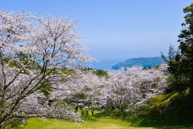 魚見岳 桜