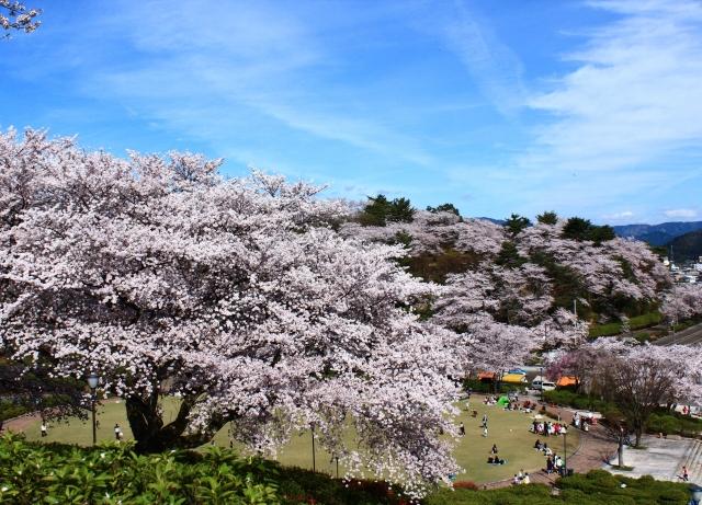 西山公園 桜
