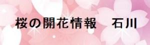 桜の開花情報石川