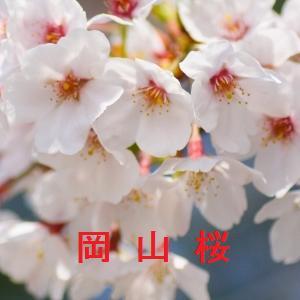 岡山の桜情報