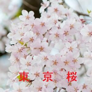 東京の桜情報